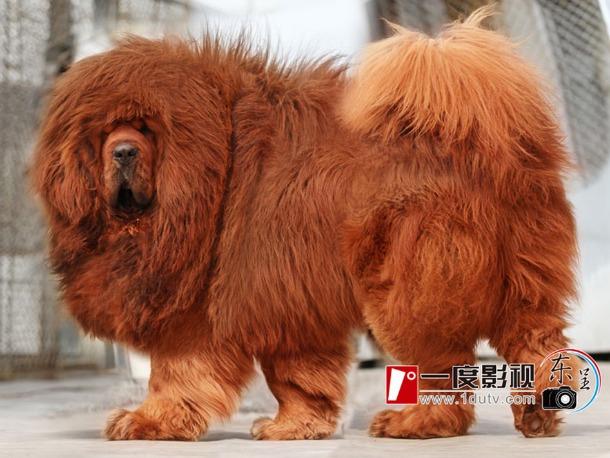 dogue-tibet-chien.jpg